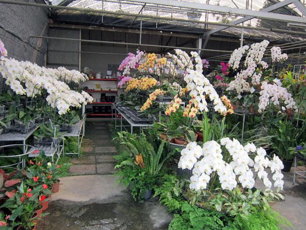 Hot Spring Orchid @Kamthieng Flower Market